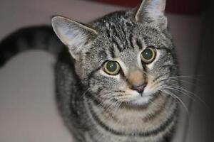 """Young Male Cat - Tabby - Grey: """"Louie"""""""