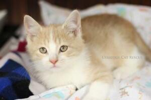 "Baby Male Cat - Domestic Short Hair: ""Scampers"""