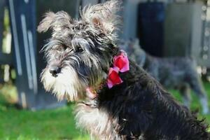 "Adult Female Dog - Schnauzer: ""Angie"""