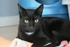 """Young Male Cat - Domestic Short Hair-black: """"Larry"""""""