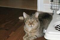 """Young Male Cat - Domestic Short Hair-Tabby - Brown: """"Tucker"""""""