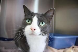 "Adult Female Cat - Domestic Short Hair - gray and white: ""Sally"""