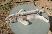 Lynx Pelt