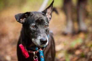 """Senior Female Dog - Labrador Retriever: """"Dolly Tusef"""""""