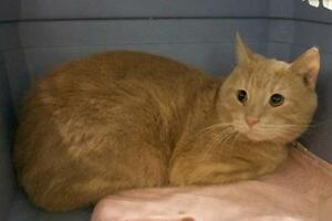 "Adult Male Cat - Tabby - Orange: ""Lilby (Little Boy)"""