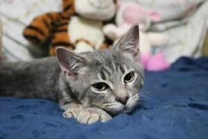 "Young Male Cat - Domestic Short Hair-gray: ""Smokey"""