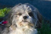 "Adult Female Dog - Shih Tzu: ""Nala"""