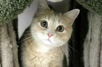 "Adult Female Cat - Domestic Short Hair-Tabby: ""Delphine"""