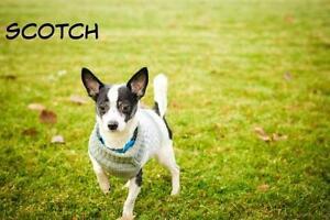 "Young Male Dog - Chihuahua: ""Scotch"""