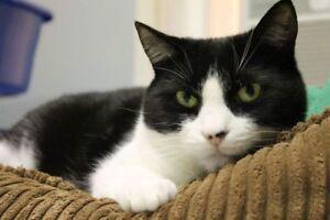 "Adult Female Cat - Domestic Short Hair: ""Pumba"""