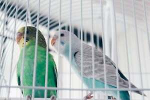 2 parakeets/budgies with cage/feed for sale