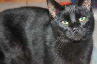 """Young Male Cat - Domestic Short Hair-black: """"Cricket"""""""