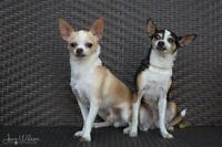 """Adult Female Dog - Chihuahua: """"Maggie and Junior"""""""