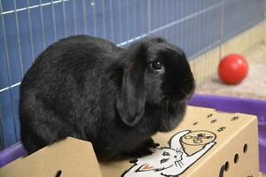 "Adult Female Rabbit - Lop Eared: ""Phyllis"""