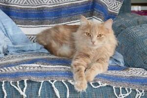 "Young Male Cat - Domestic Long Hair: ""Kevin"""