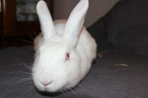 "Adult Female Rabbit - New Zealand: ""Butterscotch"" Cambridge Kitchener Area image 2"