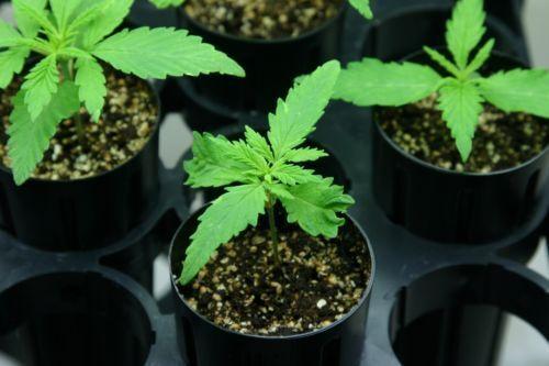 HEMP Seeds Raw Garden Sativa Natural Organic Vegan Food 100 seeds