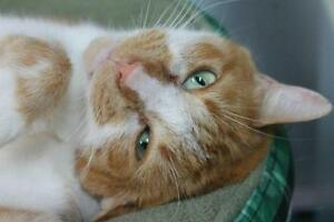 "Adult Male Cat - Domestic Short Hair - orange and white: ""Cody"""