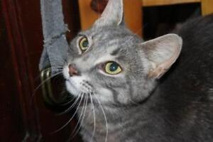 "Adult Female Cat - Tabby (Gray): ""Chloe"""