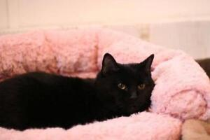 "Adult Male Cat - Domestic Short Hair (Black): ""Stewie"""