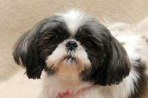Adult Female  - Shih Tzu