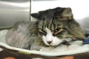 "Senior Male Cat - Domestic Short Hair: ""Liam"""
