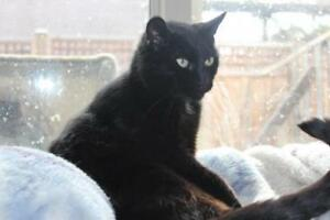 "Adult Male Cat - Domestic Short Hair: ""Cheeks"""