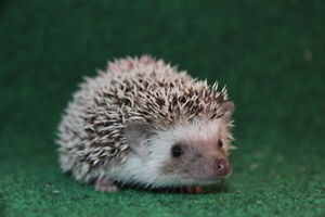 HEDGEHOGS DIRECTLY FROM BREEDER HÉRISSONS DIRECTEMENT ÉLEVAGE