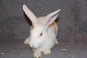"""Young Female Rabbit - New Zealand: """"3D"""""""