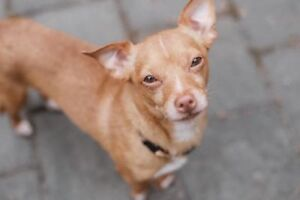 "Adult Male Dog - Chihuahua: ""Roger"""