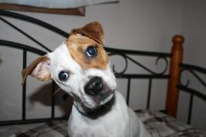 Young Female  - Jack Russell Terrier-Boston Terrier