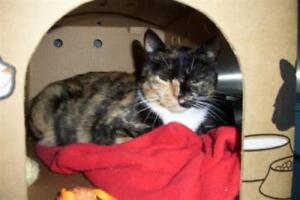 "Adult Female Cat - Domestic Short Hair-Manx: ""Lizzy"""