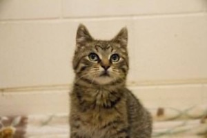 "Young Male Cat - Domestic Short Hair: ""Kili"""