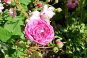 Wurzelechte Rosen