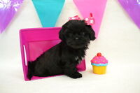 looking for a black female shih tzu or poodle