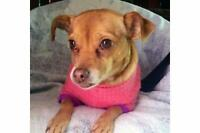"Adult Female Dog - Chihuahua-Miniature Pinscher: ""Lilly"""