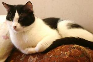 "Adult Male Cat - Domestic Short Hair-black and white: ""Huey"""