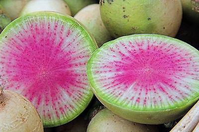 "100 SEMI- RAVANELLO Watermelon ""Radish Watermelon"