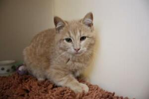"Young Male Cat - Domestic Medium Hair: ""Simon"""