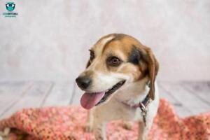 "Adult Female Dog - Beagle: ""Gracie"""