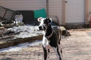 "Baby Female Dog - Great Dane: ""Monty"""