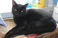 "Adult Male Cat - Domestic Short Hair-black: ""Jase"""