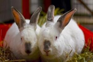 """Young Female Rabbit - Californian: """"Louise And Hopper"""""""