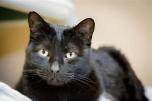 "Adult Male Cat - Domestic Short Hair: ""Binx"""