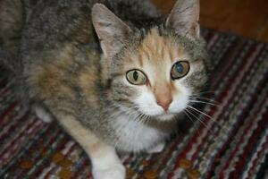 "Adult Female Cat - Tabby (Brown): ""Allison"""