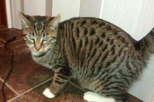 "Adult Female Cat - Domestic Short Hair: ""Dundee"""