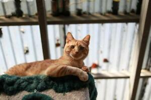"Young Male Cat - Tabby (Orange): ""Tim"""
