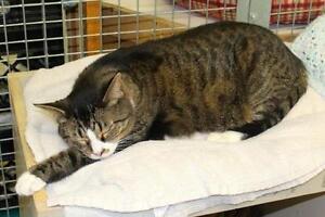 "Adult Male Cat - Domestic Short Hair-Tabby: ""Boots"" Oakville / Halton Region Toronto (GTA) image 2"