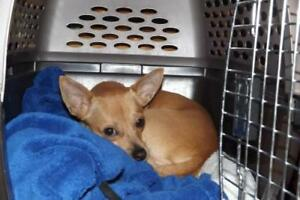 "Adult Male Dog - Chihuahua: ""Patch"""