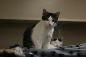 "Young Female Cat - Domestic Short Hair: ""Delray"""